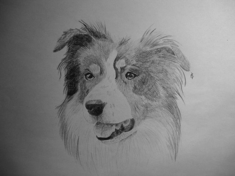 Djembé le Border collie