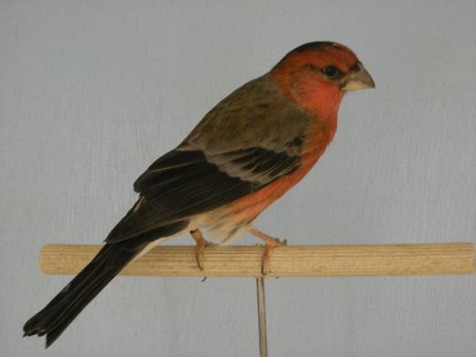 Carpodaque x Bouvreuil mâle