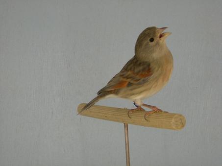 Tarin rouge x Canari femelle