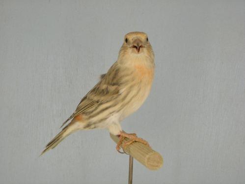 Canari x Bec - croisé mâle