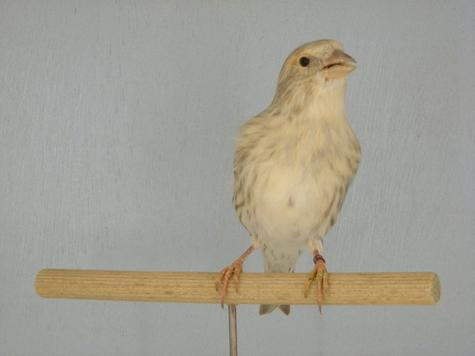 Canari x Bec - croisé femelle