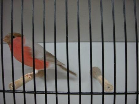 Mâle bouvreuil brun pastel 2012