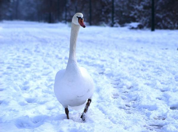 Si tu vois un canard blanc sur la neige, c'est peut-être un signe :)