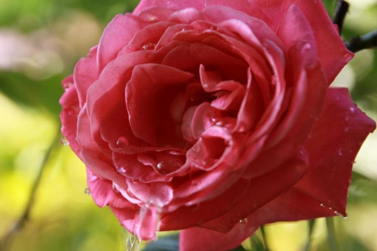Le baisé de la rose.