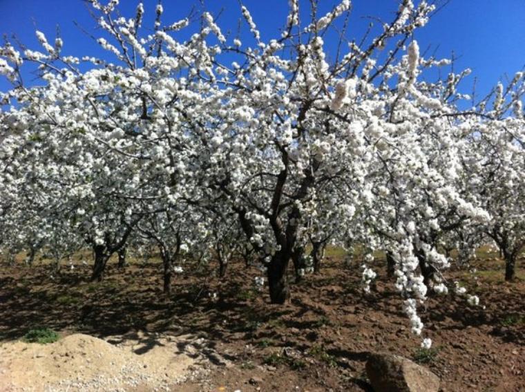 cerezo en flor ( valle del jerte)
