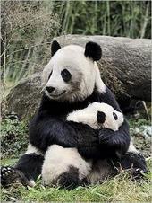 3-Le panda géant