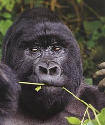 5-Le gorille