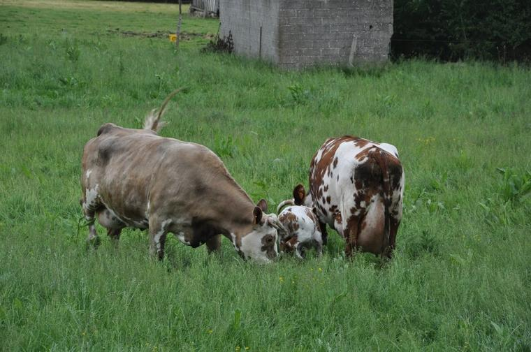Des photo de vache que j'ai faite