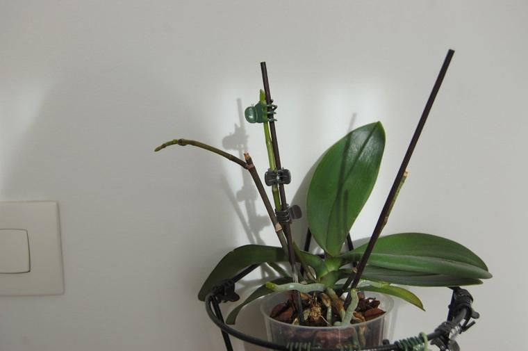 la floraison hivernale de mes orchidées phalaenopsis est en route