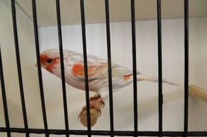 mâle agate opale mosaïque rouge