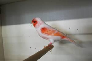 mâle lipochrome mosaïque rouge