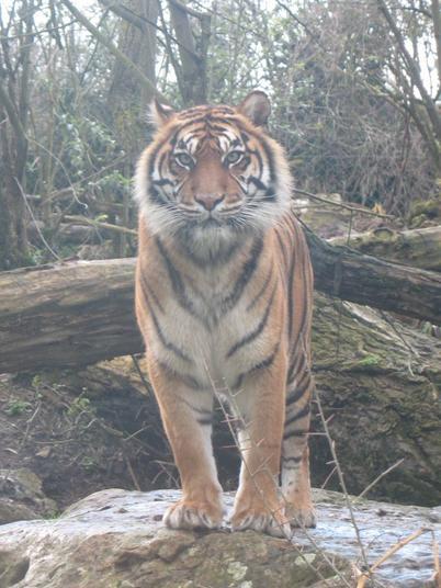 TIGRE DE SUMATRA (Zoo de Doué-la-Fontaine - Maine-et-Loire)