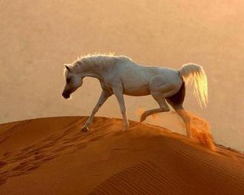 Le Pur Sang Arabe une beauté rare et qui vos très cher
