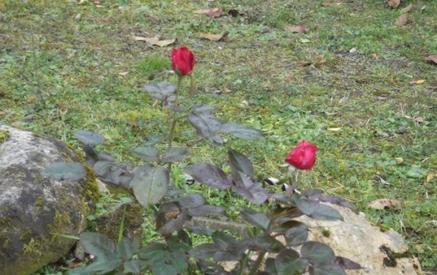 ROSES DE NOVEMBRE