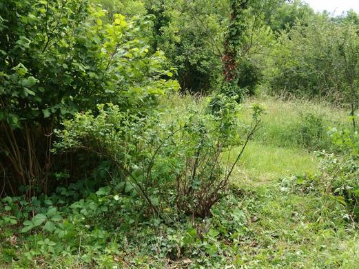 Mon 2ème rosiers ancien et les branches ôtées