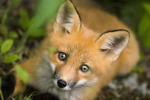 mon animals préféré le renard