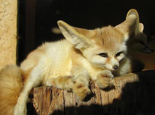 quelques espéces de renard