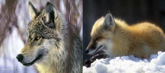 vous préférez les loups ou les renards?