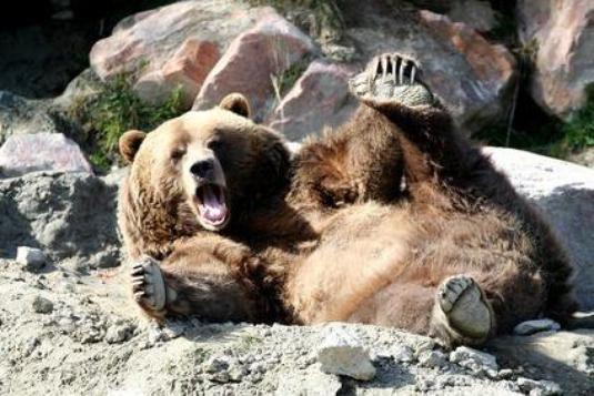 l'ours brun des pyrénées