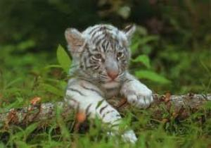 petit tigre blanc