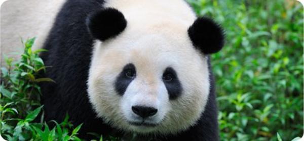ღLe panda Géant, le symbole Chinois ! on Louval30.sky' ©