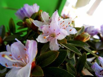 #Nature : prendre soin de son rhododendron #Jardinage #Printemps