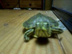 my baby turtle