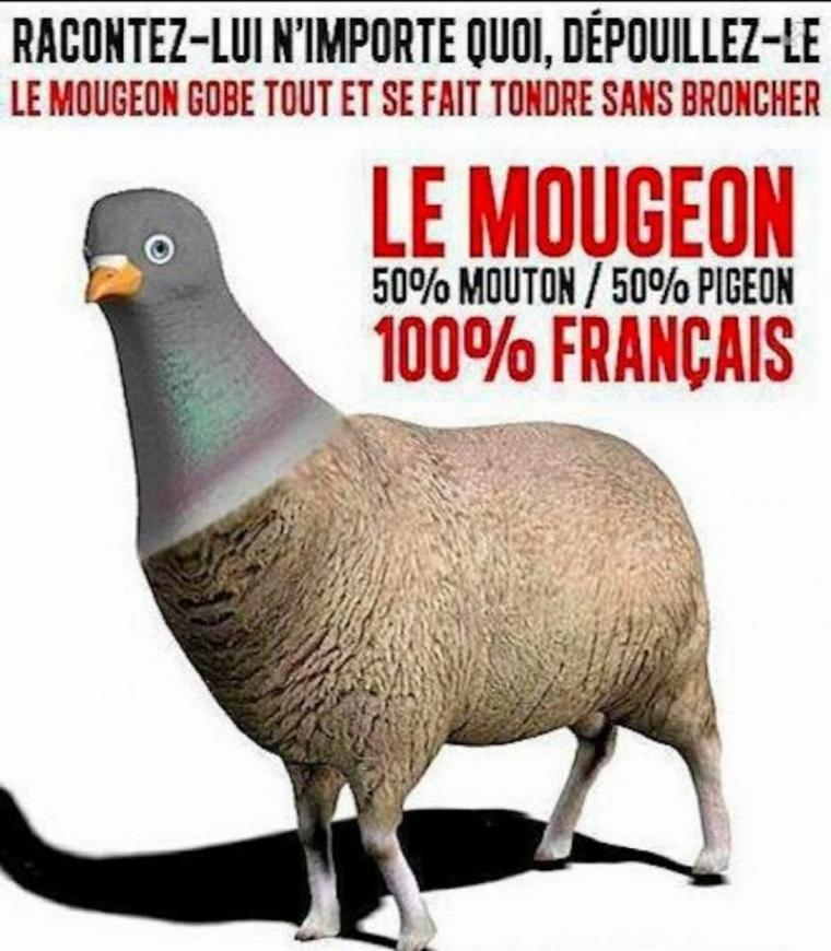 Le Mougeon 100% Français Il gobe tout et se fait tondre sans