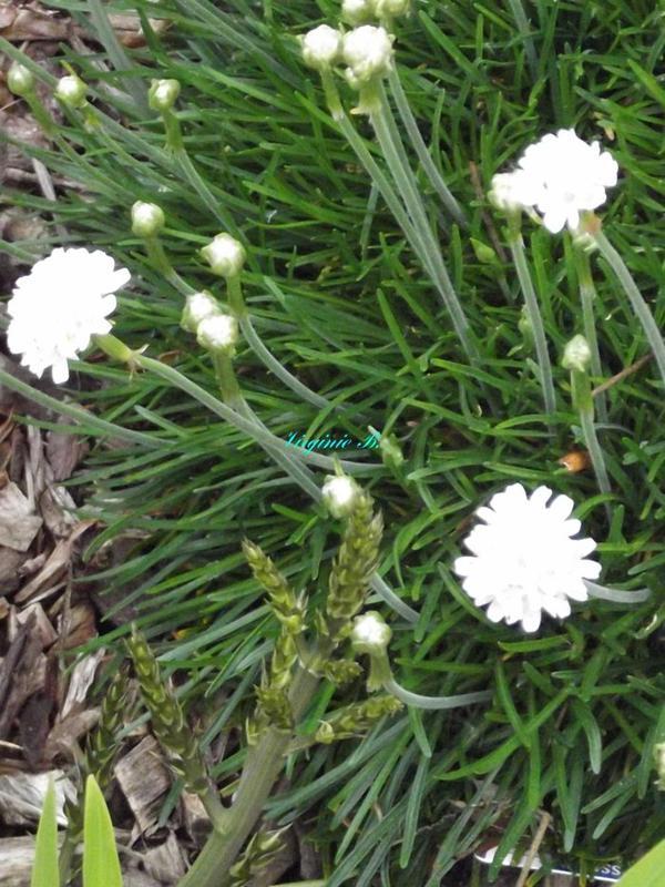Du Gazon d'Espagne à fleurs blanches