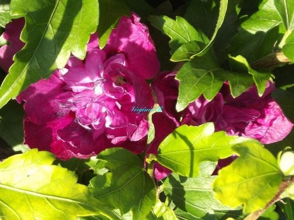 Un Hibiscus Double Rose Foncé en début de floraison