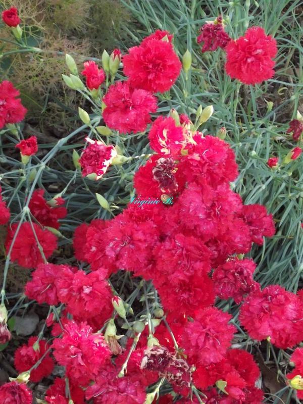 Grands Oeillets Roses Foncés