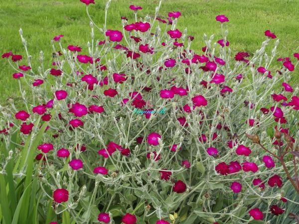 """Fleurs appelées aussi """"Oreilles de Lapin"""""""