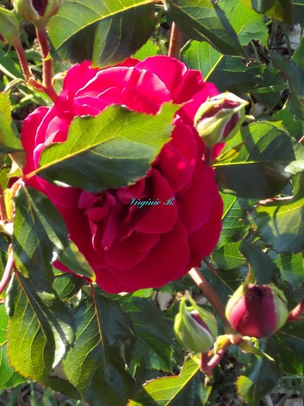 Rosier Rose Foncé