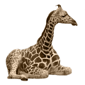 Une girafe a en moyenne combien de taches?