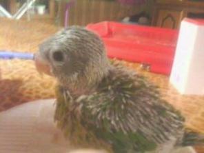 Voici deux photos de notre petit bébé à Perruche à tête brune (lorsque je vous ai demandé à combien de jours ouvrent les yeux de ce petit) :) Merci encore :)