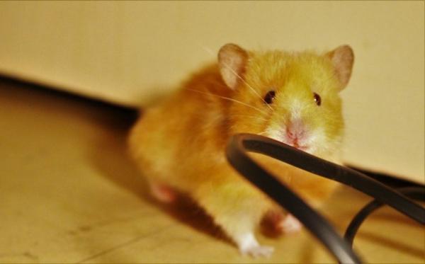 ► 21-11-2012 - Bonny Catégorie : Rongeurs ~