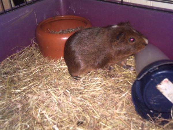 voici mon petit cochon dinde