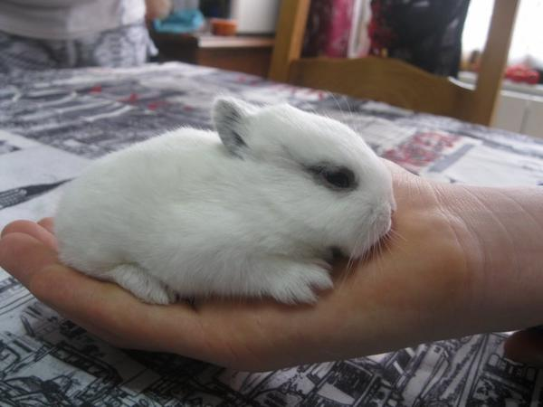 bonjour a tous je vend des lapin nain téte de lion pure rase a 10 ¤