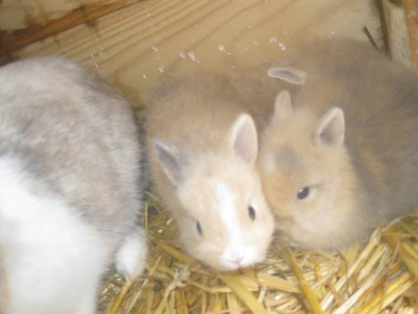 je ven c est magnifique lapin nain angora qui sont disponible le 25/11/2012 il coute 10¤ pas lapin