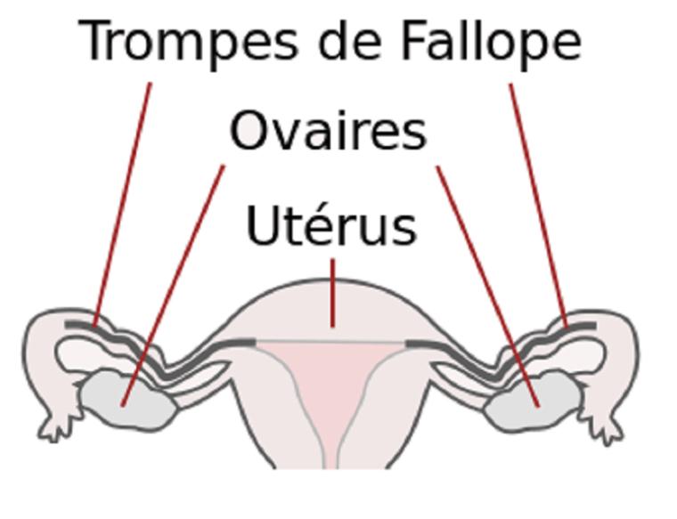 Sais tu a quoi servent les ovaires du corps humain?