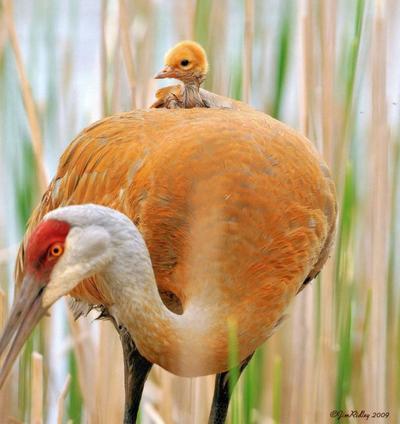 les mères poules