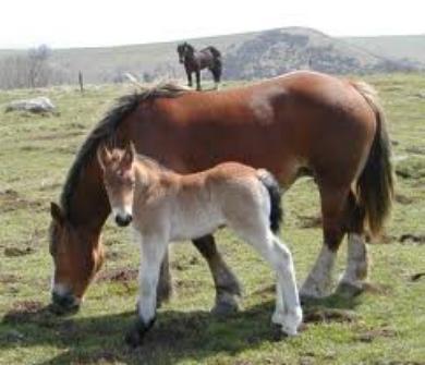 Les chevaux souffrent du mal des transports