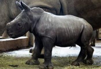 Un nouveau bébé rhino au zoo de Beauval!