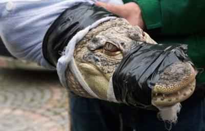 11 crocos et un alligator débusqués par la police belge