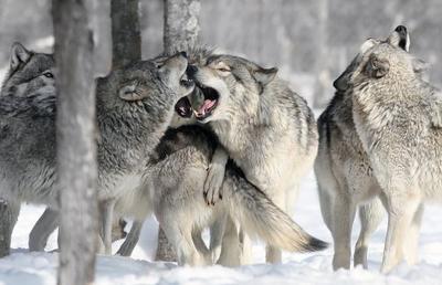 Quand les Loups font reppousser les arbres!