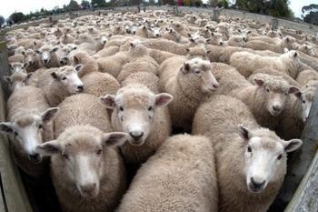 La tonte de mouton aux jeux Olympiques