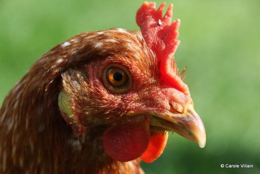 Moins de poubelles grâce aux poules?
