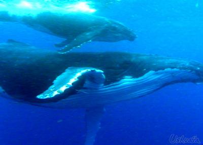A quand une loi pour protéger les dernières baleines??