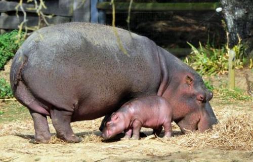 Naissance d'un bébé hippopotame à Nantes