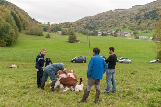 Trois vaches retrouvées tuées par balles!